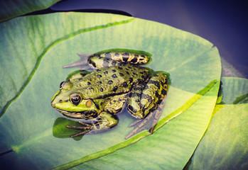 Green frog on leaf in pond