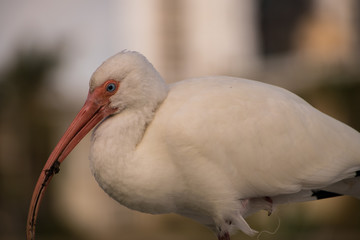 Beautiful White Ibis with blurred background