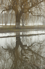 Willow tree and reflection in water