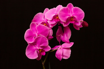 Orchid on a black background