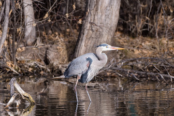 Great Blue Heron On The Hunt in the Shallows