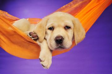 Müder Labrador Welpe in einer Hängematte