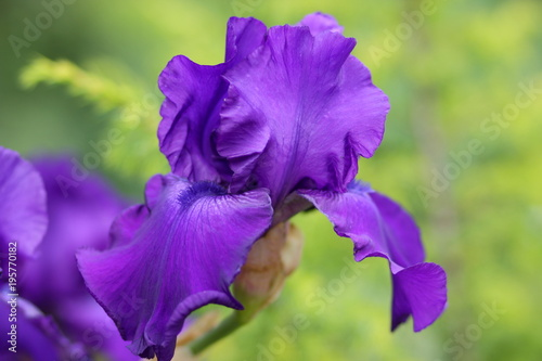 Spring flowers, purple irises in the garden, ultraviolet flowers on a green background, blank for the designer, beautiful flowers in the minimalism style, ...