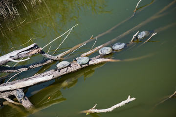water turtles in the sun