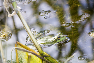 Frog in the river. landscape of wild nature