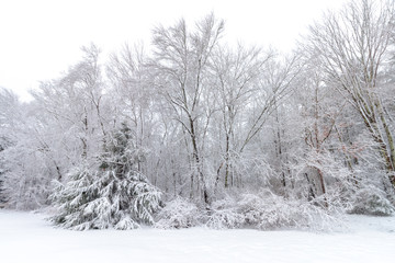 Trees after fresh snow
