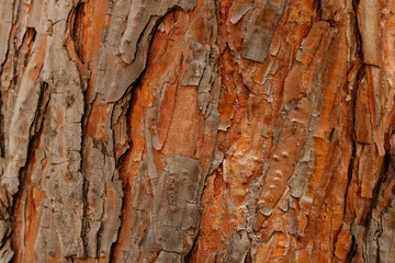 Tree bark texture, background