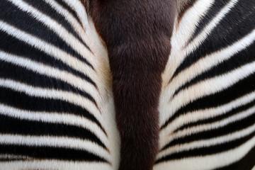 Okapi close-up detail