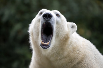 Zelfklevend Fotobehang Ijsbeer Polar bear close-up