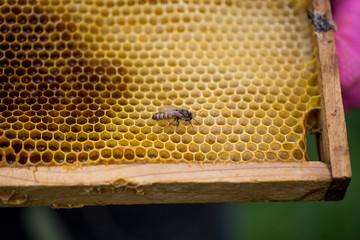 Newborn bee queen on a wooden frame.