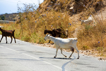 Goats and sheep in the fields of Cyprus