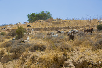 Tuinposter Schapen Goats and sheep in the fields of Cyprus