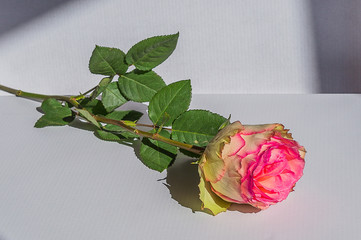 pink rose flower on white background , natural light.