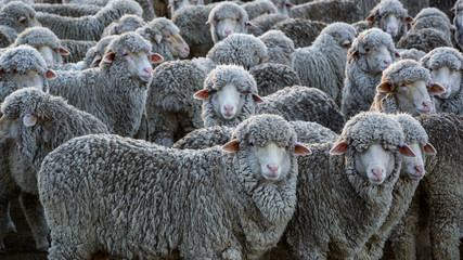 crowded sheep