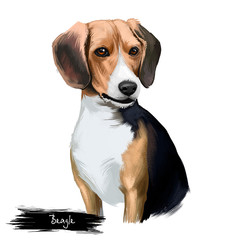 Beagle small scent hound breed dog digital art illustration isolated on white background. English origin, tricolor, hunting hare, detection dog. Cute pet hand drawn portrait. Graphic clip art design
