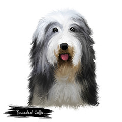 Bearded Collie or Beardie herding breed dog digital art illustration isolated on white background. Scottish origin working dog, sheepdog. Cute pet hand drawn portrait. Graphic clip art design