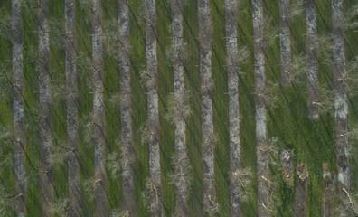 Pecan Rows