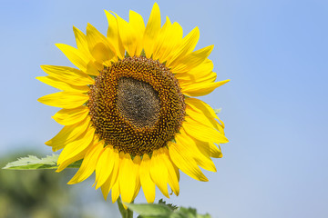 Close up sunflower blooming on the field with  blue sky
