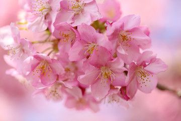 Foto op Canvas Kersenbloesem 桜