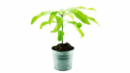 mango tree isolated on a white background.