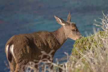 California Deer Coastal