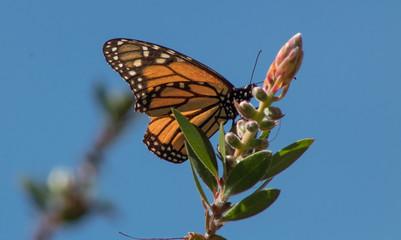 Monarch Butterfly California