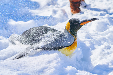 腹ばいのキングペンギン