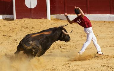 Competición con toros de lidia en España. Esta competición es una forma de la tauromaquia donde la gente usa su propio cuerpo para torear.
