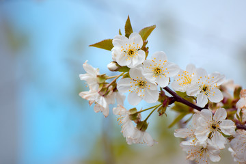 branch of blossoming cherry in the garden against the background