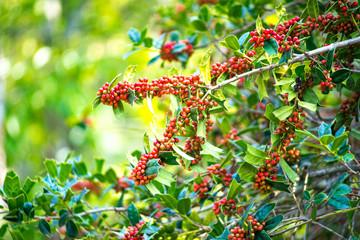 The Ilex aquifolium shrub with bright red berries on blurred green background