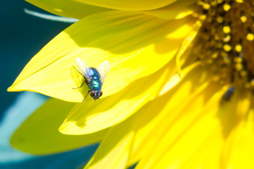the fly sits on a bright yellow petal of a sunflower flower