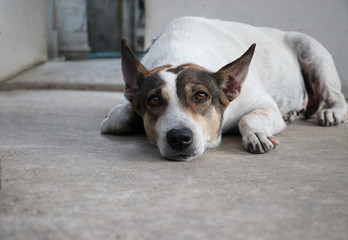 Sad dog white and brown waiting someone after received vaccine relaxing on the floor the eyes sadness cute animal looking at the camera