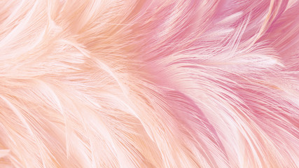 Chicken or Biid feather texture.Abstrack,blur photo style for wallpaper or background.Soft paster color full feather.