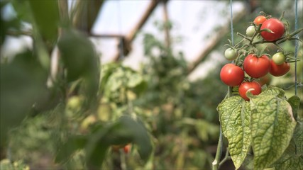 Red small tomatoes grow in a greenhouse