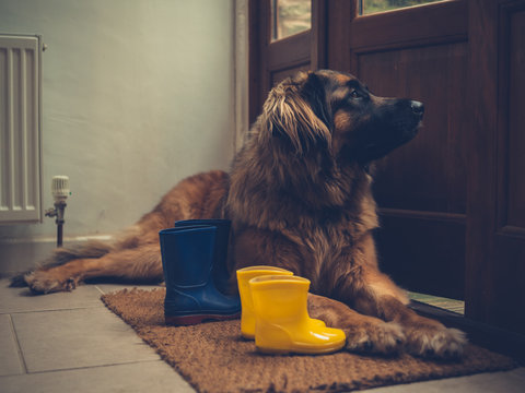 Dog by open door with rubber boots