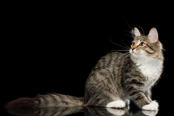 Tabby Kitten Sitting with Interest looking up on Isolated Black Background, side view