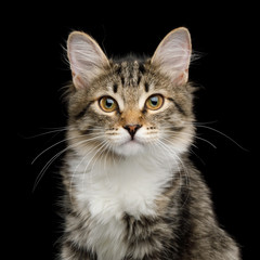 Portrait of Cute Kitten with white breast, looking in Camera on Isolated Black Background, front view