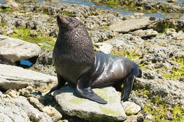 Big cute seal on beach rock, New Zealand natural animal