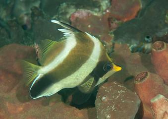 Threeband pennantfish (Heniochus chrysostomus  Cuvier, 1831 ) swimming above  corals of Bali, Indonesia