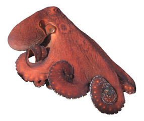 Big Red Reef Octopus isolated on white background