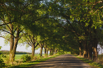 An asphalted road, surrounded on both sides by rows of green trees on a sunny summer day. A tunnel of trees