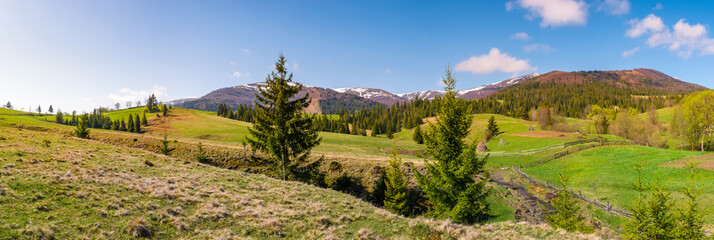 panorama of mountainous landscape in springtime. lovely scenery with spruce trees on grassy hillsides. mountain ridge with snowy peaks in the distance