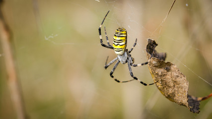 Spider-Wasp (Argiope Bruennichi) On Its Web On A Sunny Day. Close-Up.