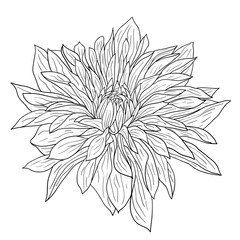 Beautiful monochrome sketch, black and white dahlia flower isolated