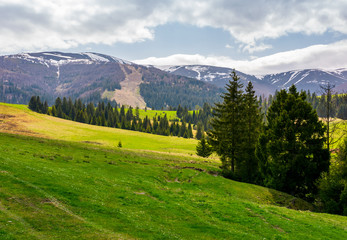 spruce forest on grassy hills in mountains. Borzhava mountain ridge with snowy tops in the distance on a cloudy day