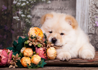 puppy chow chow and flowers