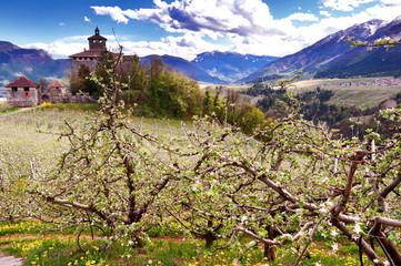 Campo di meli in fiore