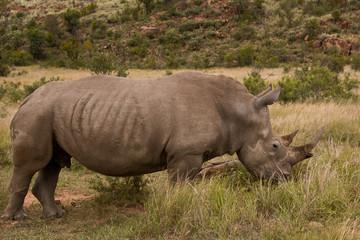 White Rhinoceros grazing in the valley