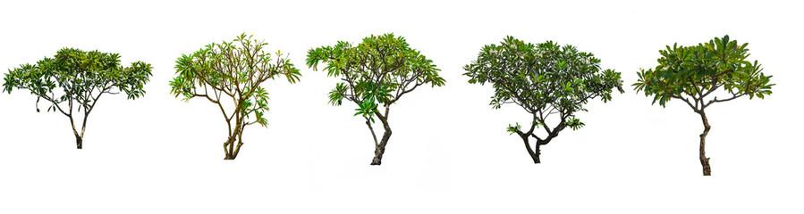 Set of Plumeria tree isolated white background.