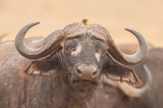 Symbiosis: African buffalo with oxpeckers, Kruger Park, South Africa
